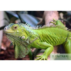 Green Iguana, Various Sizes Available