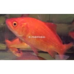 Peixe Telescópico Preto 5-6cm